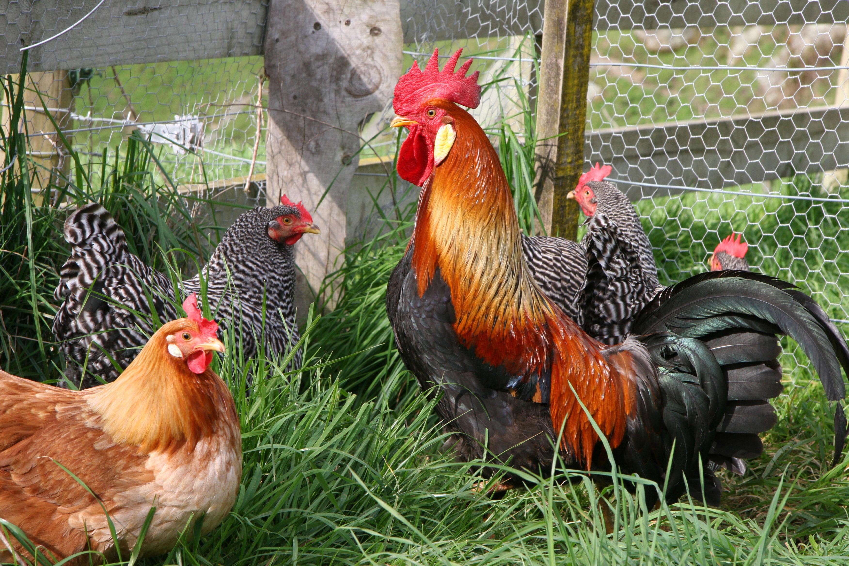 Как повысить яйценоскость кур без особых затрат 17